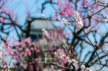 いよいよ桜の時期です!