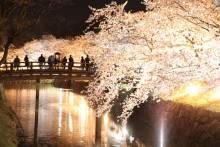 松本城の夜桜(4月4日の状況)