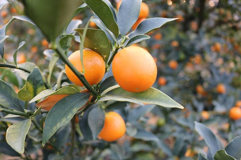 金柑の中でも直径2.8cm以上、糖度が16℃以上のものが、最高級ブランド完熟金柑「たまたま」として出荷されます。