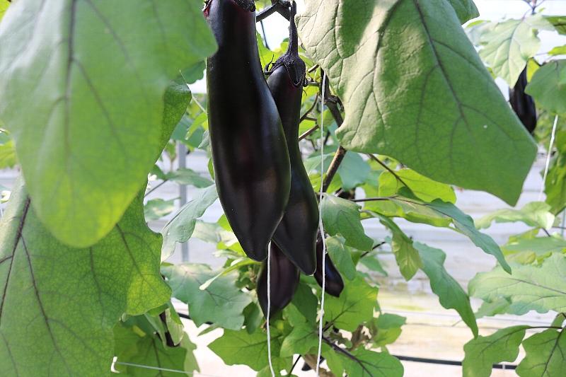 江戸時代から栽培され一度市場から姿を消したことがあったものの、たった4粒の種から甦った奇跡のナスと呼ばれる「佐土原ナス」。きめ細かく軽く、ふんわりしっとりした果肉が特徴です。