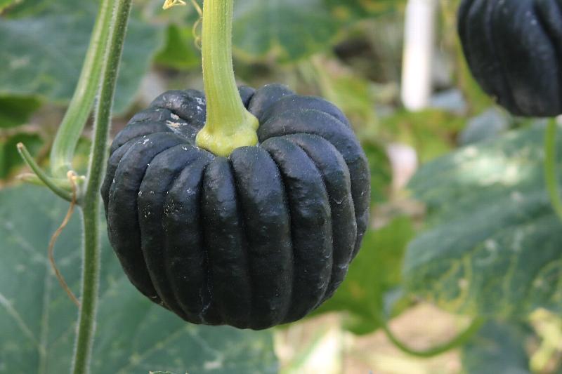 高級料亭でも使われる宮崎の伝統野菜「黒皮かぼちゃ」