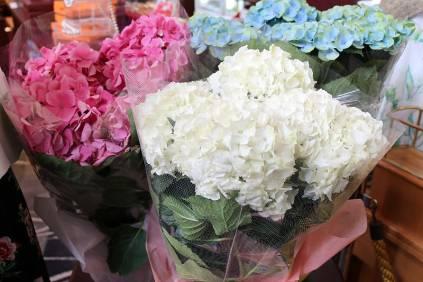 色鮮やかな紫陽花の鉢植えや…
